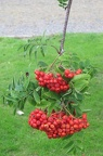 Ballymascanlon - Nature - Berries