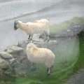 Mayo - Sheep on Roadside