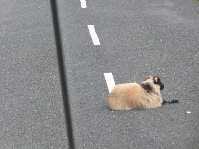 Mayo - Sheep in Road.jpg